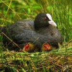 Nesting mama coot and chicks vs 2 LDR